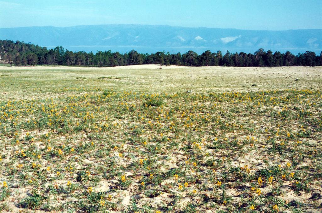 Песчаные дюны севернее п. Хужир с зарослями термопсиса ланцетного (Thermopsis lanceolata R. Br.).