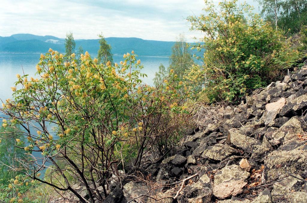 Кусты цветущей бузины (Sambucus sibirica Nakai) на каменной россыпи, 149 километр КБЖД.