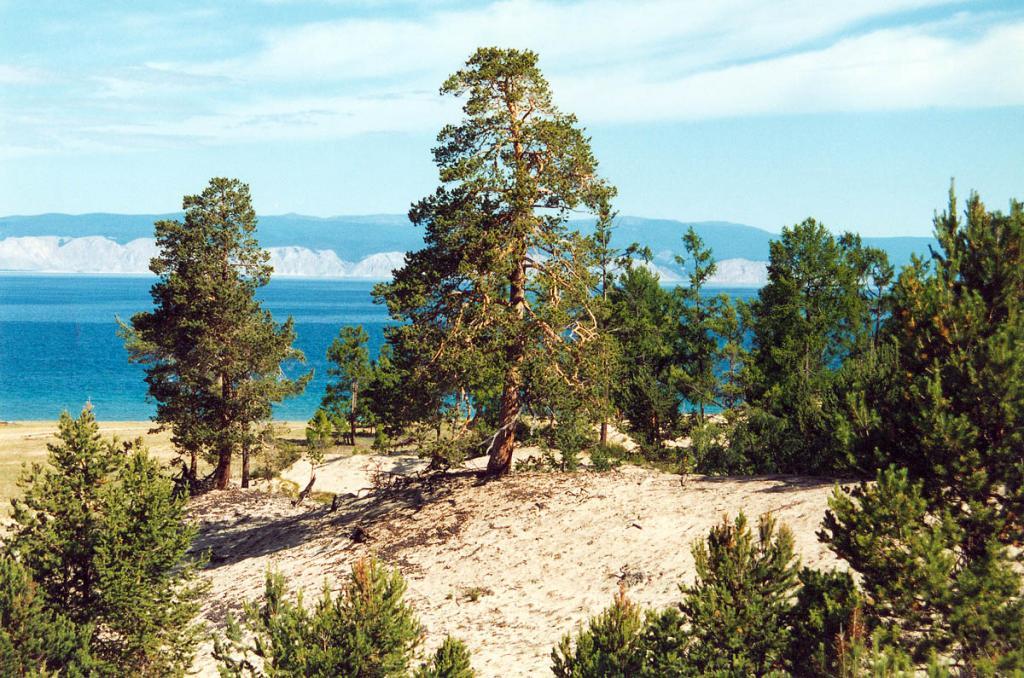 Урочище Песчанка. Сосна лесная на южной окраине песчаной дюны.