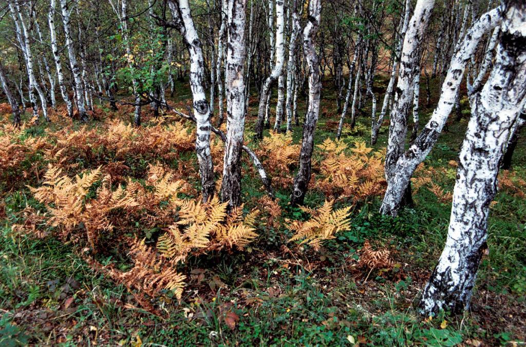Пожелтевшие листья папоротника орляка (Pteridium aquilinum (L.) Kuhn) в березовом лесу. Снимок сделан на 152 км КБЖД.