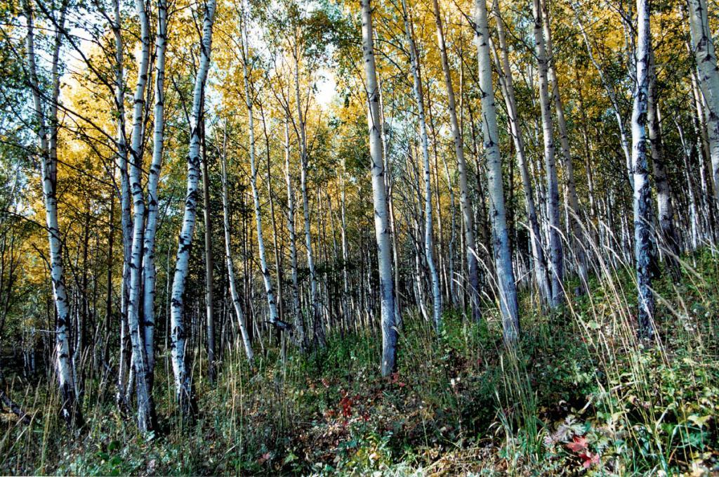 Значительную часть склонов гор на юго-западном побережье Байкала вдоль КБЖД покрывают лиственные леса из березы и осины. Снимок сделан в сентябре.