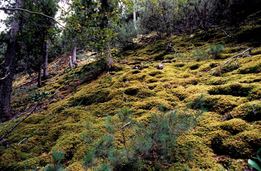 В долинах рек напочвенный покров на северных склонах часто украшен ярко зелеными подушками мхов. Снимок сделан в распадке р. Заворотная.
