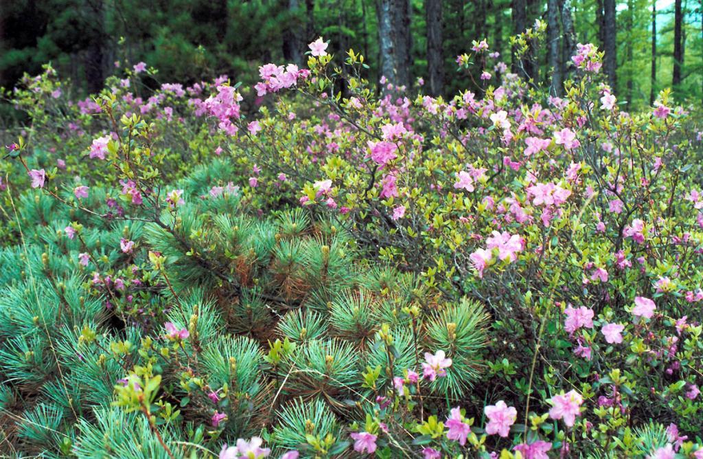 Цветение рододендрона даурского (Rhododendron dauricum L.) на целый месяц меняет прибрежные берега Северного Байкала, окрашивая их подлесок в нежно розовый цвет. Снимок сделан на мысе Саган-Марян.