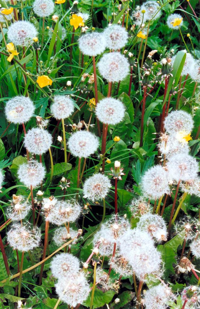 Плоды одуванчика лекарственного (Taraxacum officinale Wigg.) (разнотравный луг на мысе Елохин).