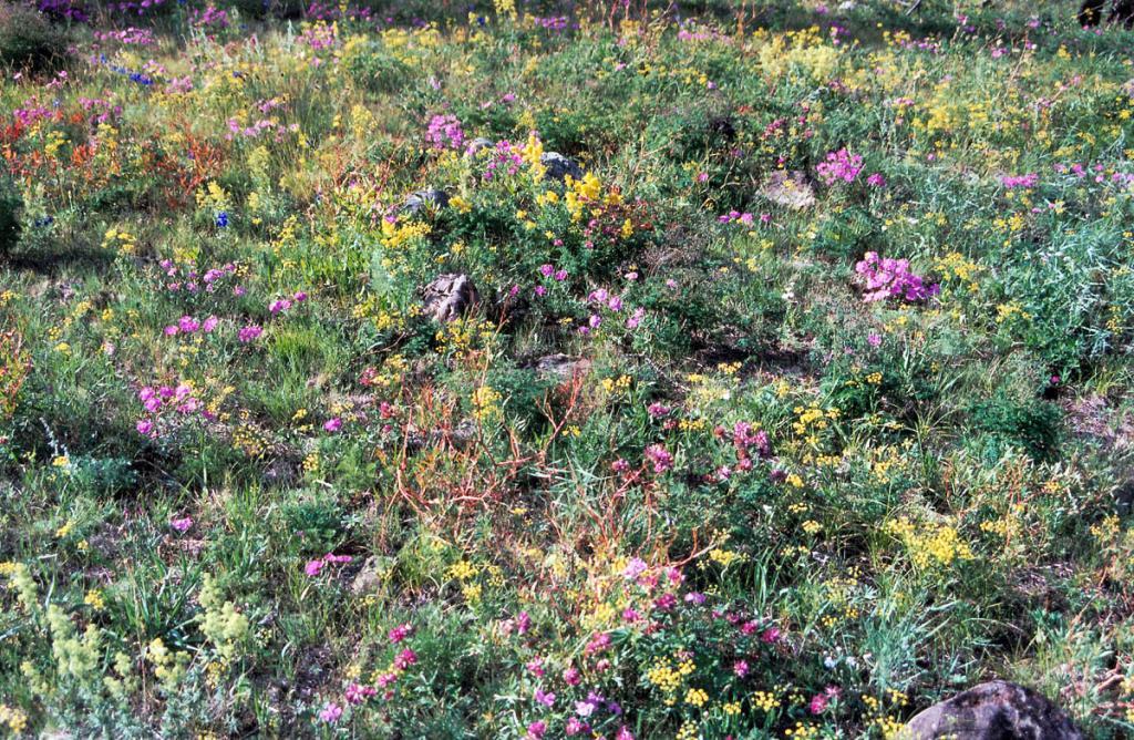 В каменистой разнотравной степи на мысе Шартлай яркими лиловыми пятнами выделяются гвоздика разноцветная (Dianthus versicolor Fisch. ex Link.) и клевер люпиновый (Trifolium lupinaster L.).