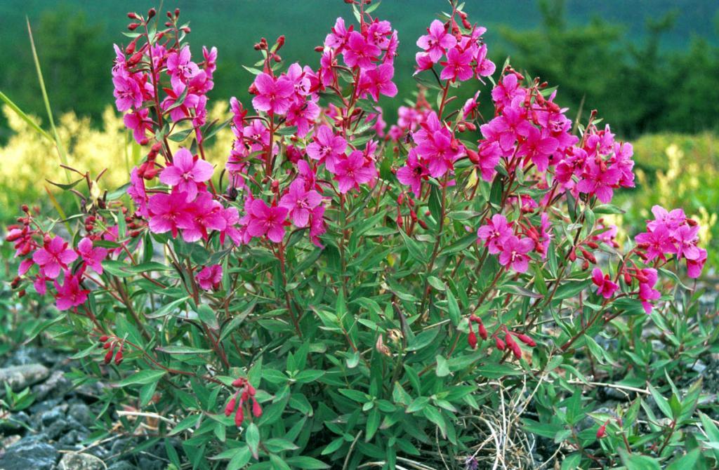 Близкий родственник Иван-чая - кипрей широколистный (Chamerion latifolium (L.) Holub) на галечниковом береговом валу мыса Большой Солонцовый.