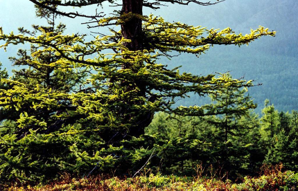 На северо-западном побережье на верхней границе леса и в прибрежной полосе повсеместно развиты лиственничные леса. Наибольшие площади лиственничников сосредоточены в пределах предгорной равнины на щебенчато-суглинистых отложениях. На снимке: лиственница на берегу мыса Большой Солонцовый.