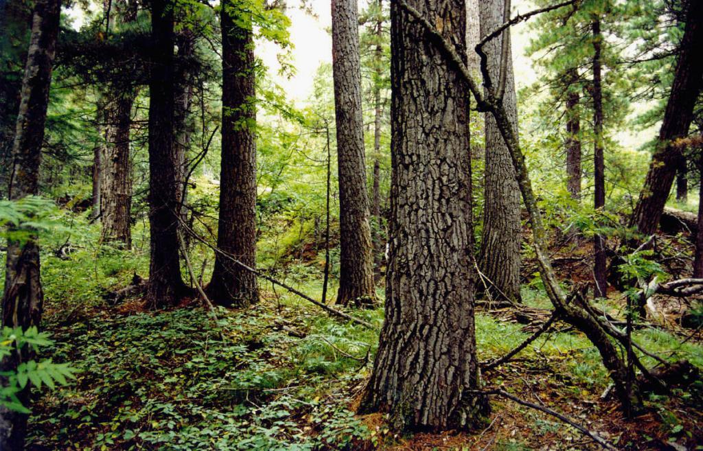 На надпойменных терассах в долинах рек северного Байкала топольники сменяются хвойными лесами (тополево-кедровыми, тополево-лиственничными, тополево-пихтовыми). На снимке: фрагмент топольника в долине р. Заворотная.