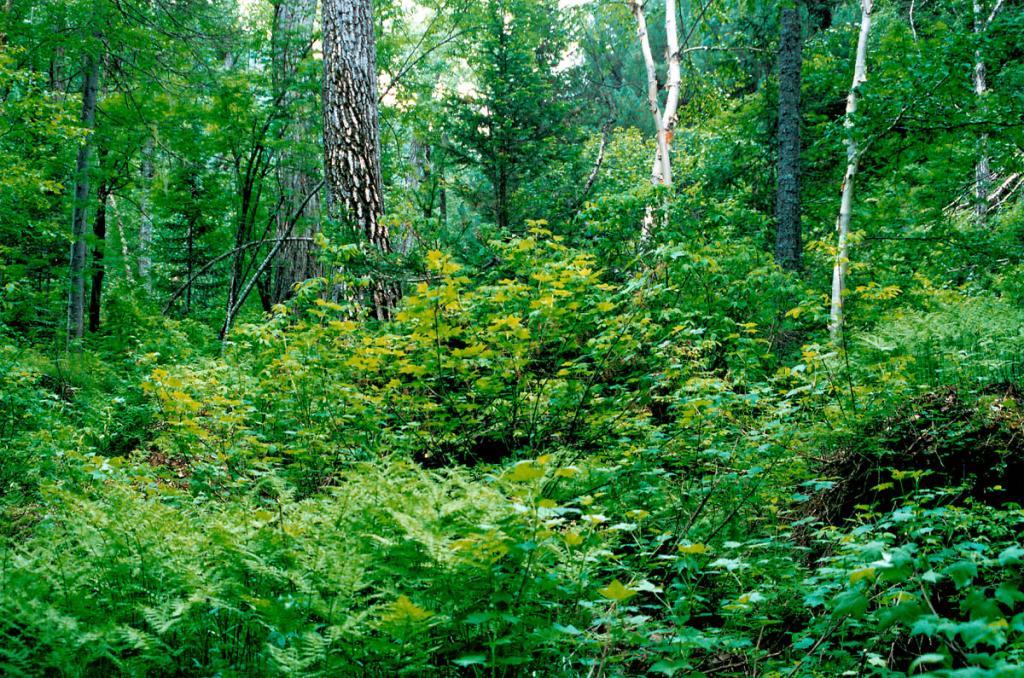 Горное обрамление Байкала впечатляет своей пышной растительностью: в ее сложении участвуют более 1600 видов высших сосудистых растений! Снимок сделан на Баргузинском хребте.