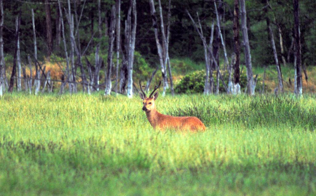 Крупный самец косули на прибрежной лесной поляне. Снимок сделан на мысе Средний Кедровый.