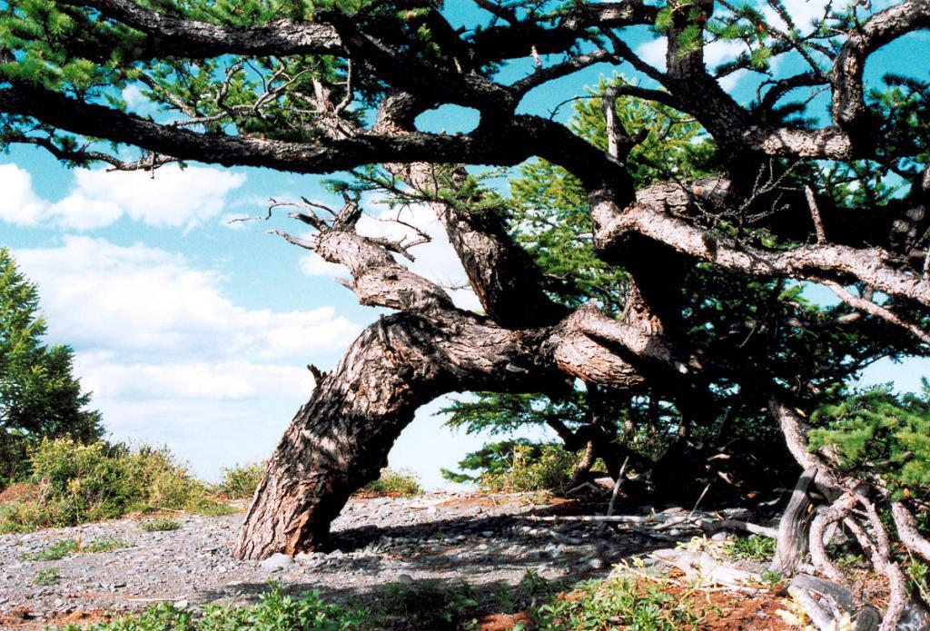 Такие лиственницы на берегах северного Байкала - редкость. Этому уникальному дереву, скрученному ветрами и холодом, более 200 лет. Снимок сделан на мысе Большой Солонцовый.