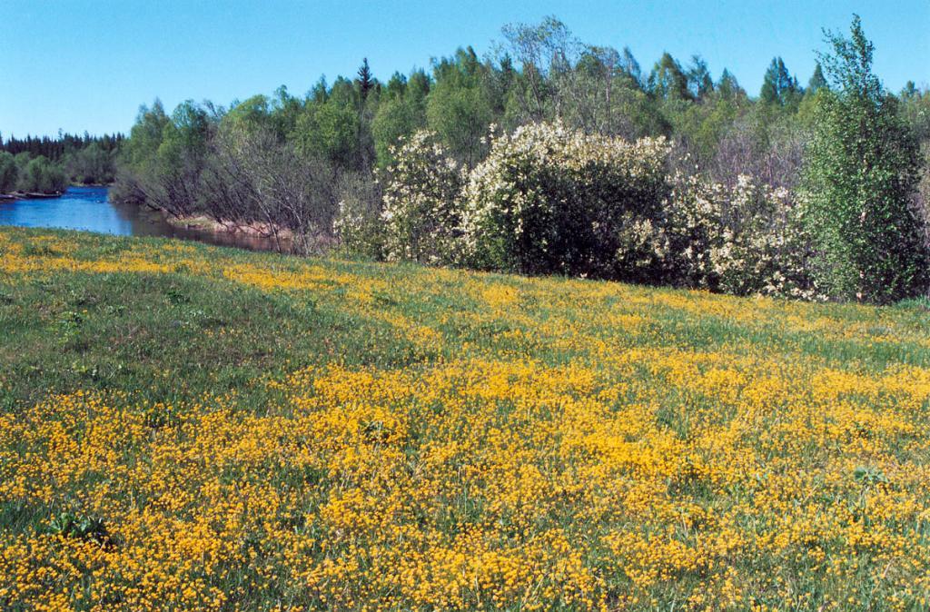 Цветущий крупковый (крупка сибирская - Draba sibirica (Pall.) Thell.) луг на берегу речки Чанчур. Снимок сделан в начале июня.