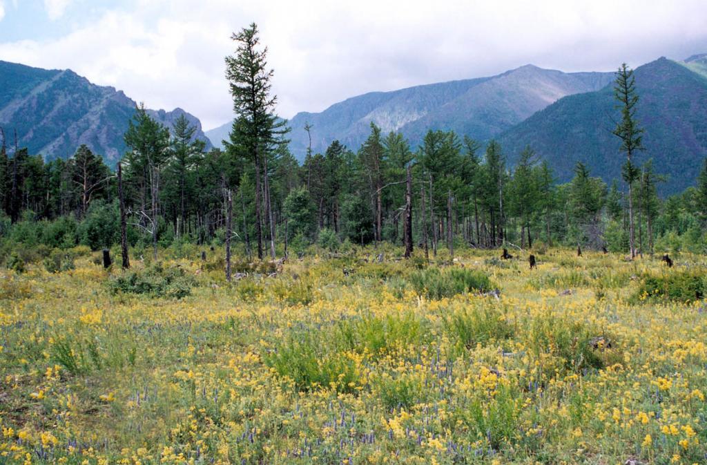 Лесная поляна на месте вырубленного (во второй половине XX века) лиственничного леса на мысе Покойники.