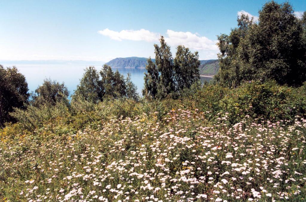 Цветущая полянка из тысячелистника азиатского (Achillea asiatica Serg.) на вершине горы над портом Байкал.