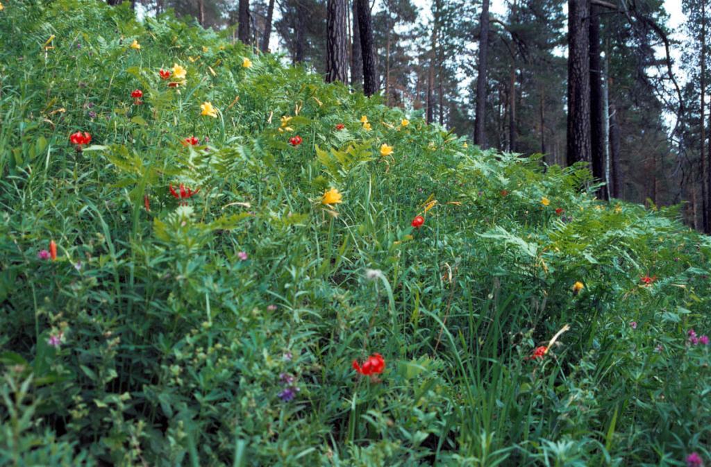 Все меньше в сосновых прибайкальских лесах встречается карликовых лилий (Lilium pumilum Delile) (красная) и красоднева малого (Hemerocallis minor Miller) (желтые цветы в травостое). Снимок сделан на берегу р. Ода. В настоящее время оба вида занесены в региональные Красные Книги.