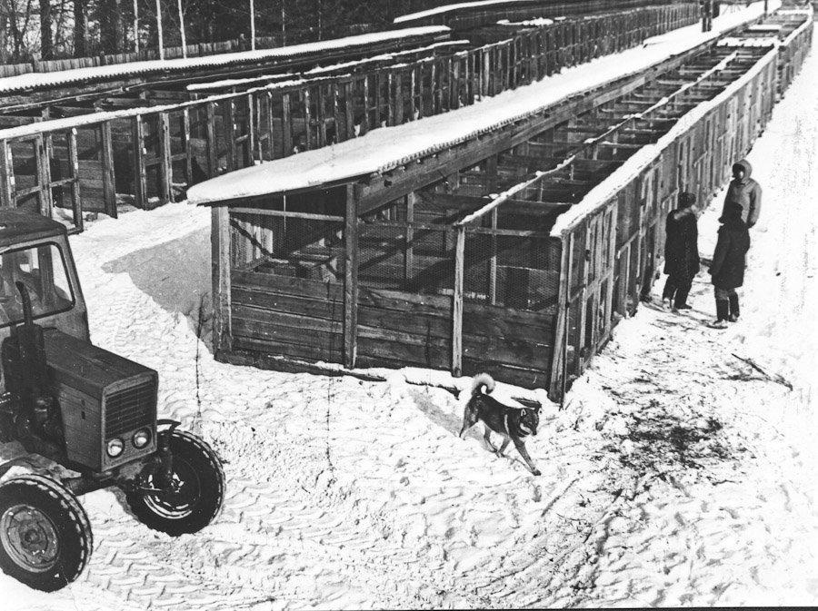 Фото начала 1970-х гг.: на переднем плане Лапчик 1010/лвс. Иркутский питомник лаек, с. Моты