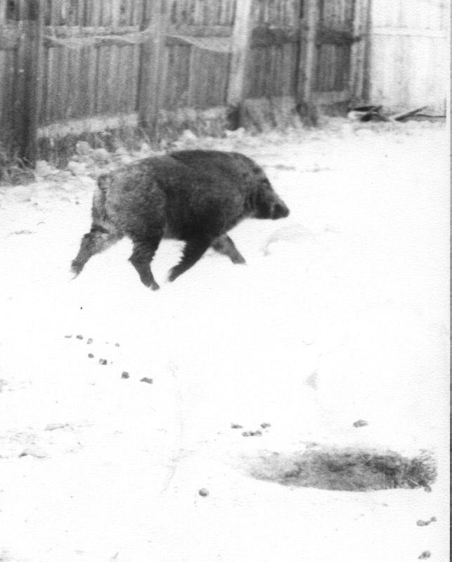 Вольерный кабан Иркутского питомника лаек. Жил в питомнике с 1986 г. по июнь 1991 года.