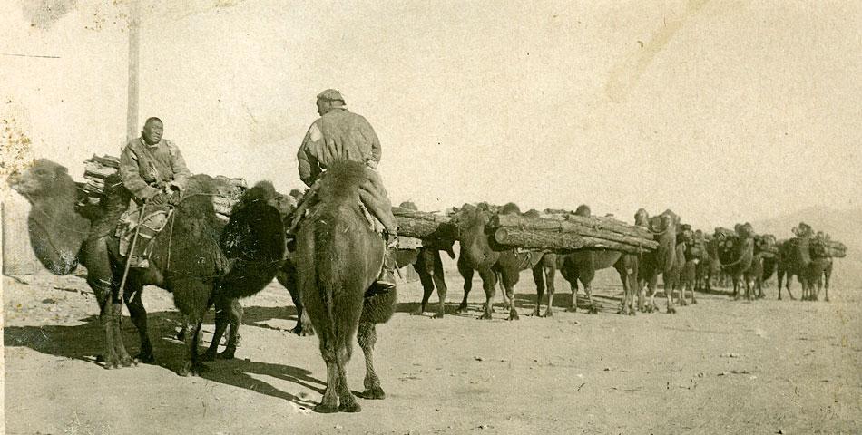 Перевозка леса верблюдами. Монголия, приблизительно 1938 год
