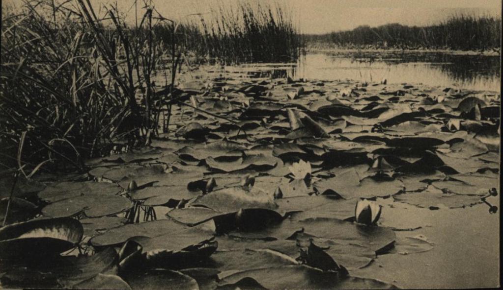 Водяные лилии в окрестностях Иркутска
