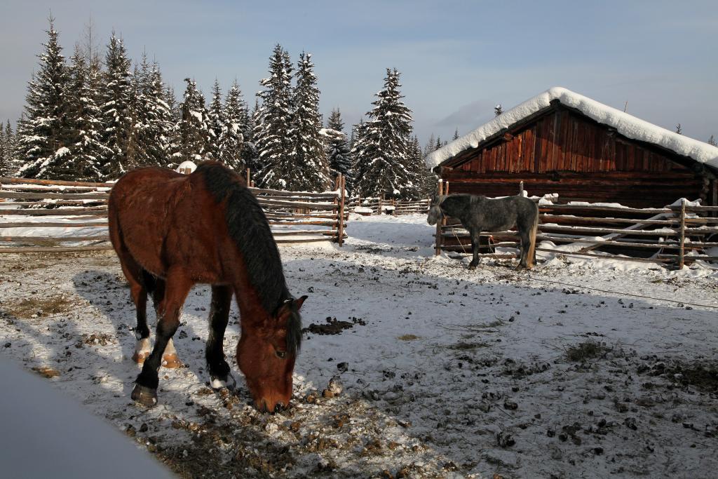 У эвенков лошади прекрасно себя чувствуют и без привозных кормов