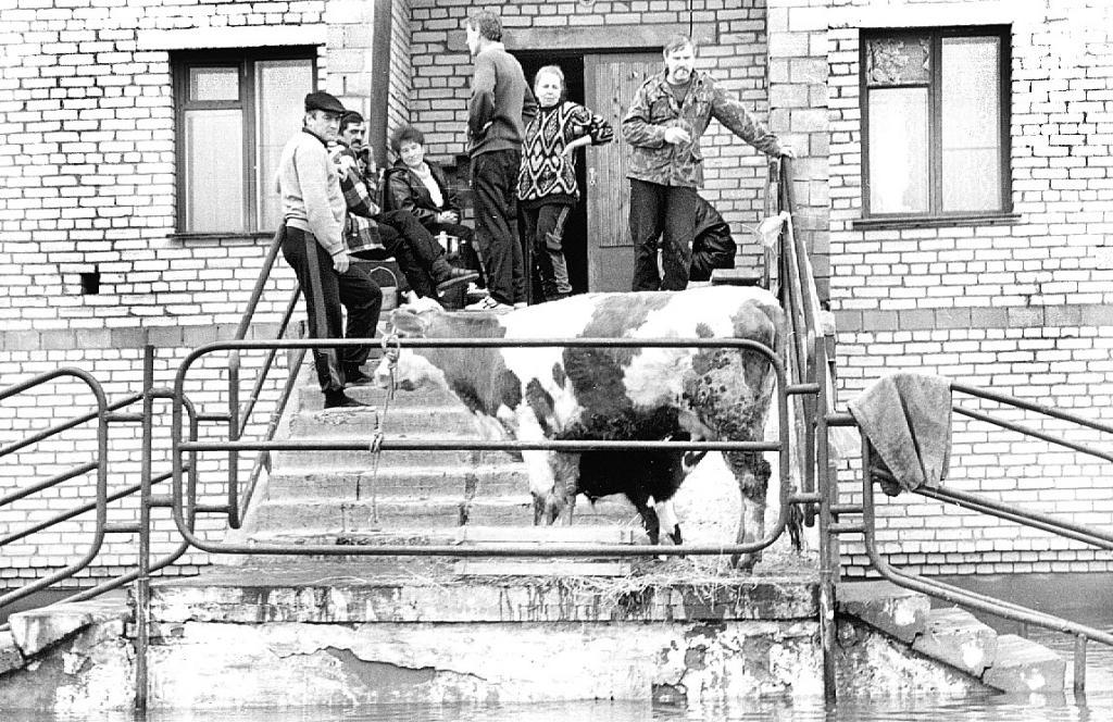 Крупный рогатый скот не удалось поднять так высоко