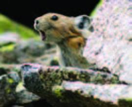 Рис. 3.27. Северная пищуха Ochotona hyperborea