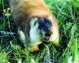 Рис. 3.22. Сурок Marmota sibirica. (Фото Б. Бадмаева).