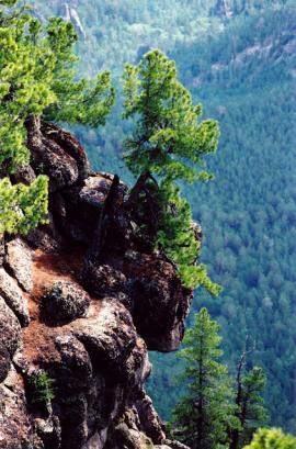 Над лесами в окрестностях Песчаной возвышается множество столбообразных скал с растущими на них сибирскими кедрами (Pinus sibirica Du Tour) Снимок сделан на вершине хребта.