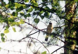 Малый перепелятник на гнездовом участке