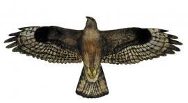 Обыкновенный канюк, или сарыч