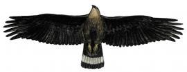 Орлан-долгохвост