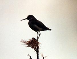 Черныш на гнездовом участке