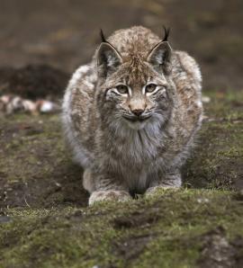 3 – Рысь (Lynx lynx).
