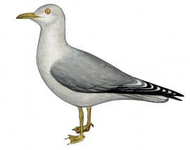 Сизая чайка