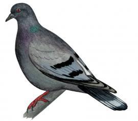 Скалистый голубь