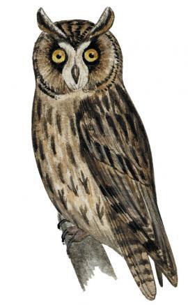 Ушастая сова