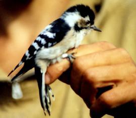 Малый пестрый дятел в руках орнитологов