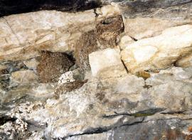 Гнезда восточных воронков