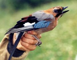 Сойка в руках орнитологов