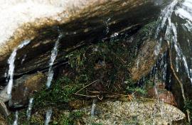 Гнездо оляпки