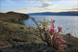 Природа Байкала это в первую очередь цветущие заросли багульника.