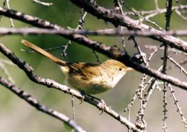 Толстклювая камышевка на гнездовом участке