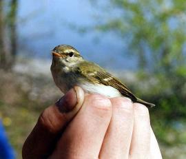 Зелёная пеночка в руках орнитологов