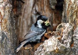 Московка с кормом у гнезда