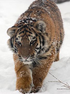 Амурский (Уссурийский) тигр. Автор: Derek Ramsey, 2007