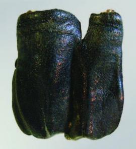 Зуб носорога. Найдено в Ольхонском районе