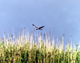 Самец болотного луня в полёте