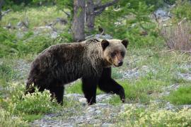 Медведь распространён почти по всем лесным и горным районам Прибайкалья.