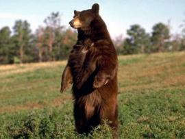 Рис. 3.96. Бурый медведь (Ursus arctos).