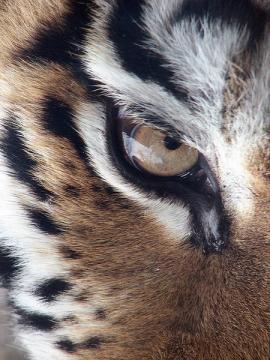 Глаз амурского тигра. Авторы: Derek and Julie Ramsey, 2007